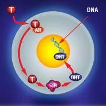 Pôsobenie T a DHT na vlasové folikuly 3